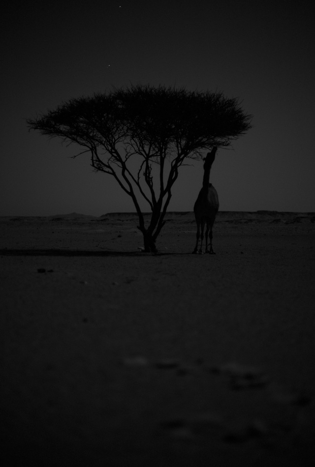 Camel by tree in moonlight. Leica M Monochrom