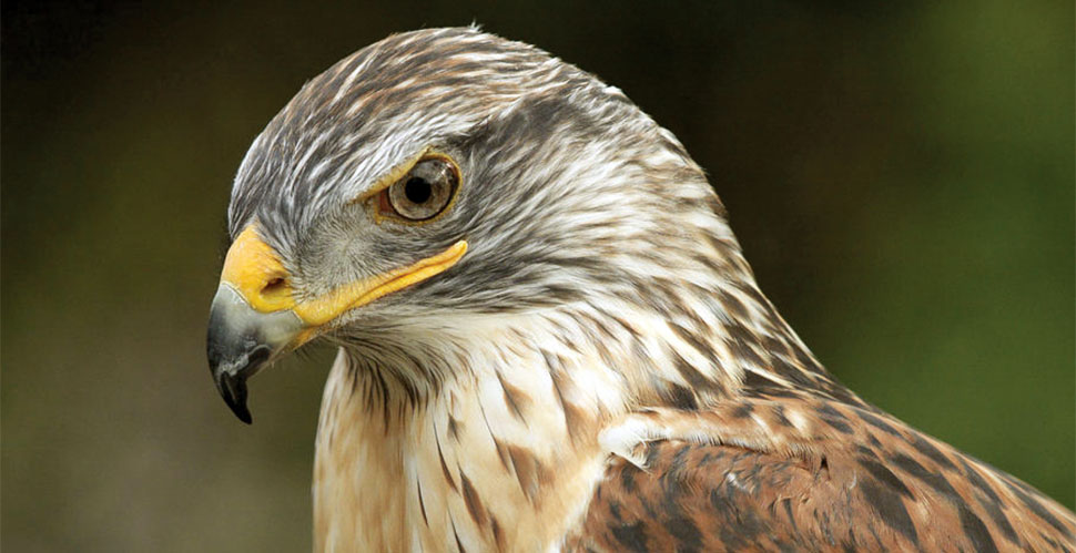 A portrait of a Ferruginous Hawk that had been rescued after an injury. Leica R8/DMR with Leica 280mm APO-Telyt-R f/4.0. © 2008-2016 Douglas Herr.