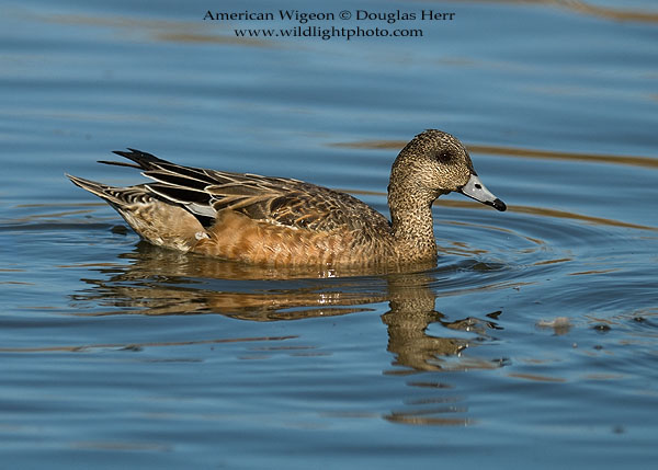 American Wigeon, Colusa National Wildlife Refuge. Leica SL 601. 400 ISO. © 2016 Douglas Herr.