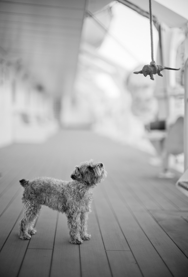 The captains dog in training to deal with dangers of all kinds. Leica M Type 240 with Leica 50mm Noctilux-M ASPH f/0.95.