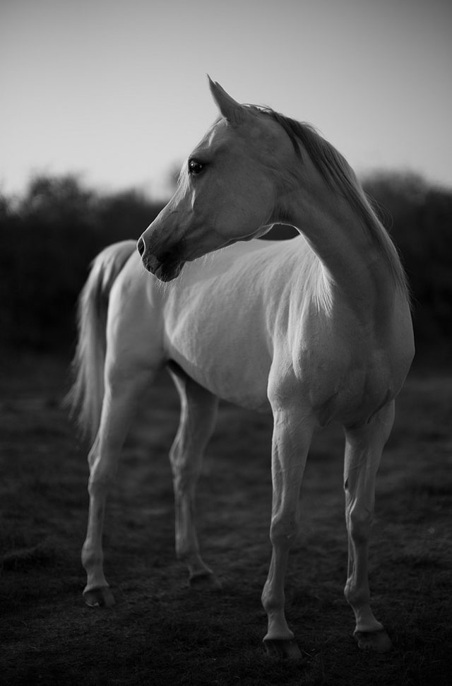 White Horse in the soft light from the sunset in Qatar. Leica M Monochrom with Leica 50mm Noctilux-M ASPH f/0.95. © Thorsten Overgaard.